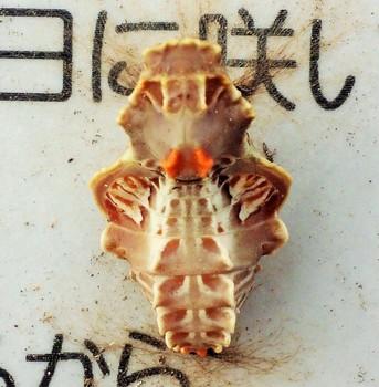 きお菊虫.jpg