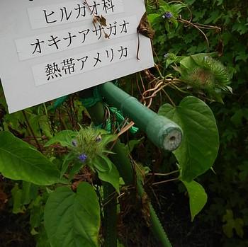 オキナアサガオ.JPG