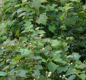 ノブドウ、野草被覆.jpg