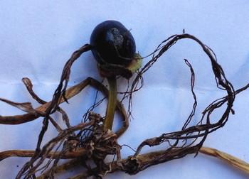 ヒガンバナの黒い種子.jpg