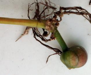 ヒガンバナ種子A地区5.jpg