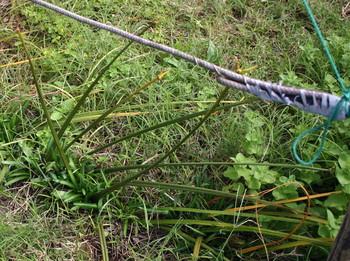 ヒガンバナ種子A地区6.jpg