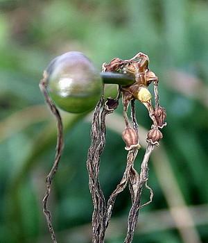 ヒガンバナ種子B地区2.jpg