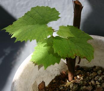 ブドウ挿し木2.jpg