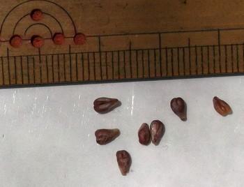 メンデルのブドウの種子.jpg
