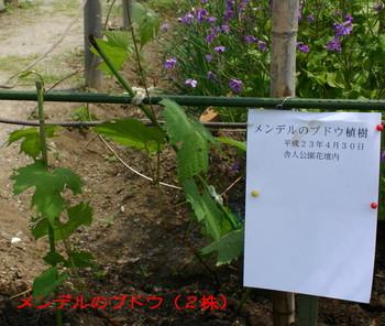 メンデルのブドウ植樹.jpg