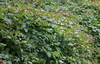 ヤブガラシ,雪柳を覆う.jpg