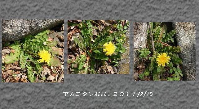 アカミタンポポ合成.jpg