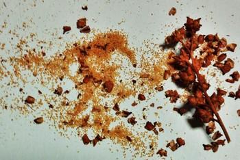 7タコノアシ種子.jpg