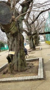 ソメイヨシノ2r.jpg