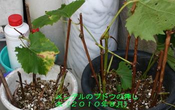 メンデルのブドウの挿し木.jpg