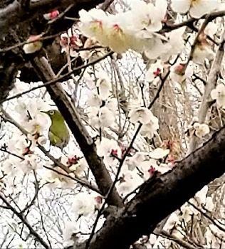 梅にメジロr.jpg